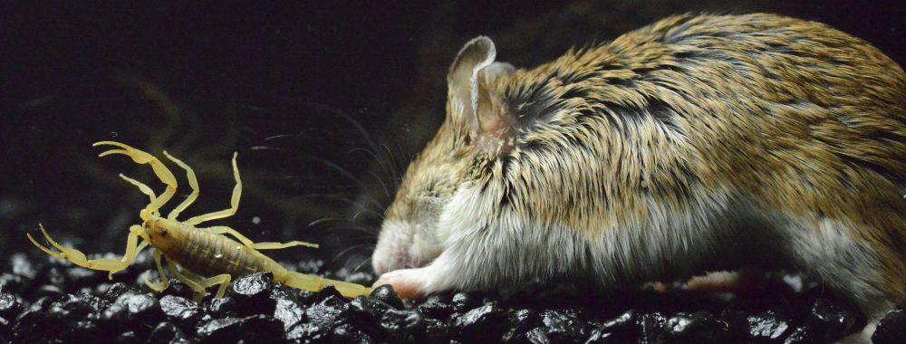 Grasshopper mouse attacking Centruroides sculpturatus