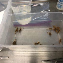 scorpions for venom extraction copy
